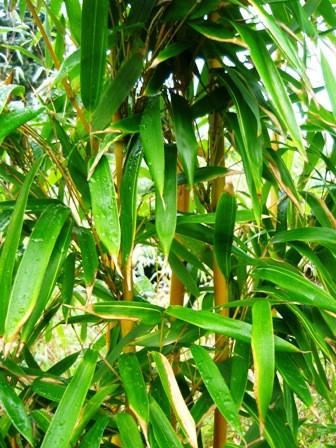 Phyllostachys bambusoides Holochrysa