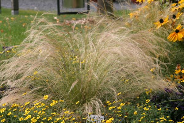 Mädchenhaar - Stipa tenuifolia
