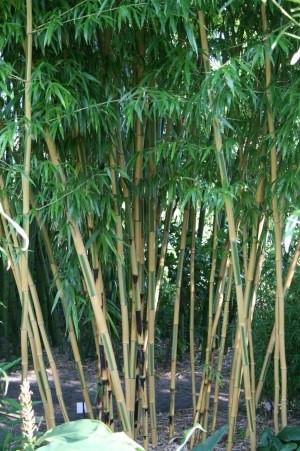bambus_1